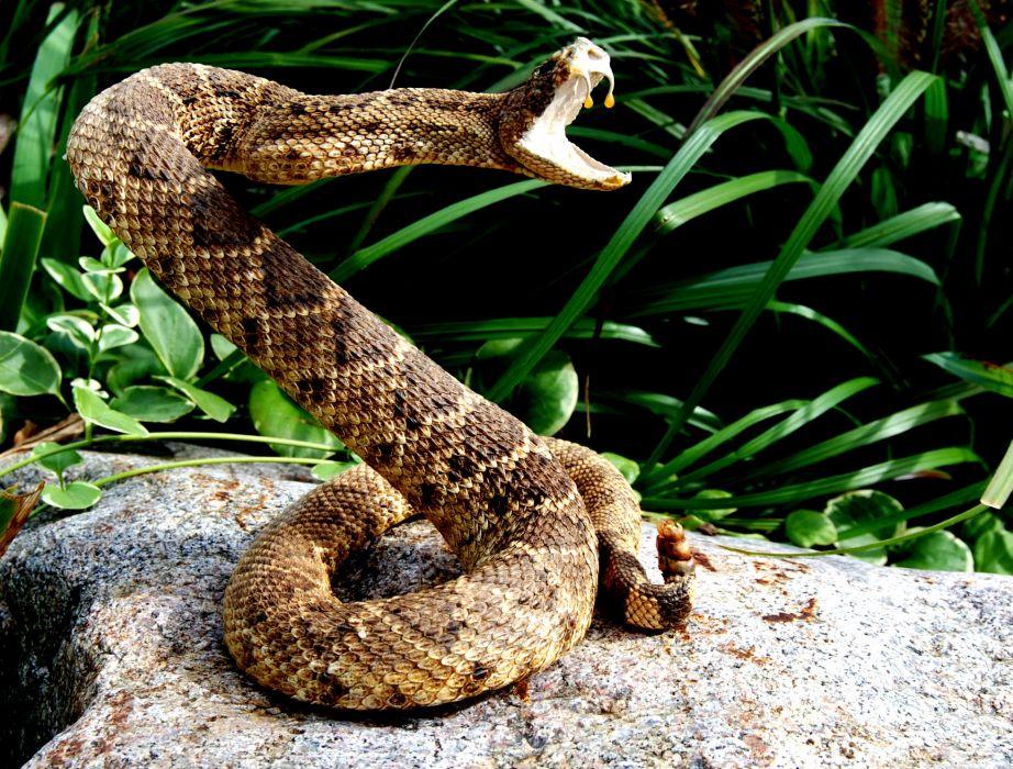 snake reptile snakes predator rattlesnake   ue wallpaper