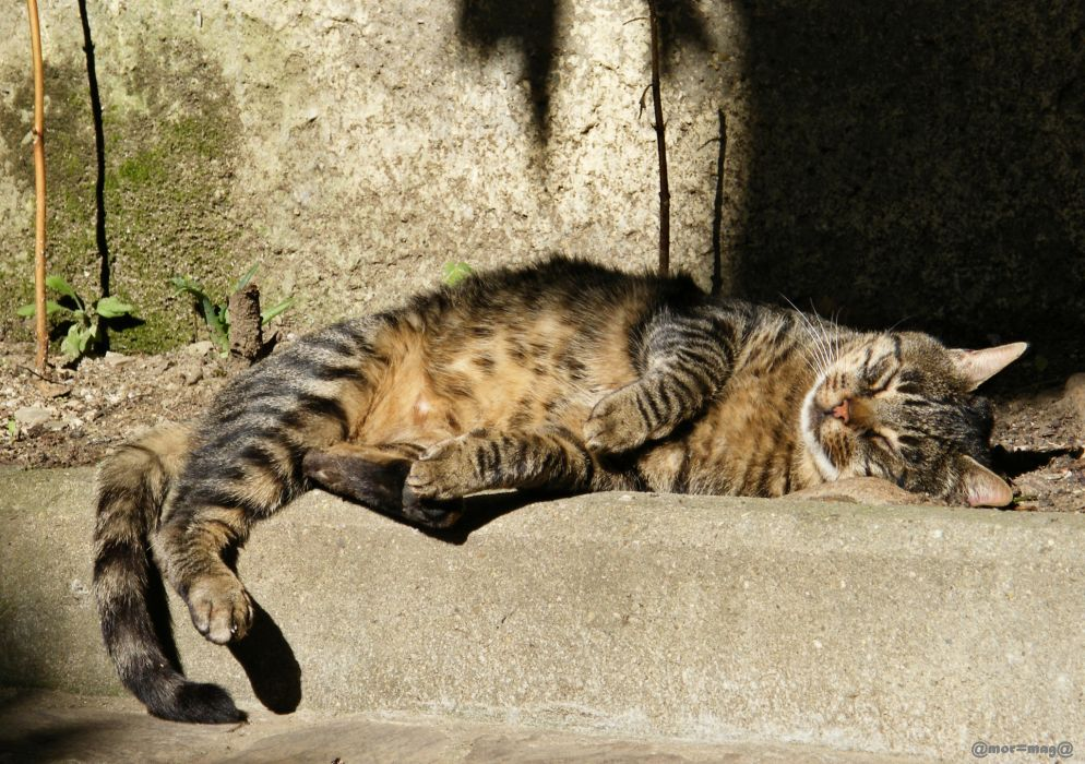 street sleeping gray cat striped wallpaper