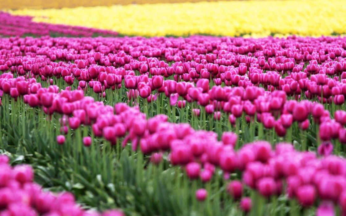 Tulips Fields Many Flowers wallpaper