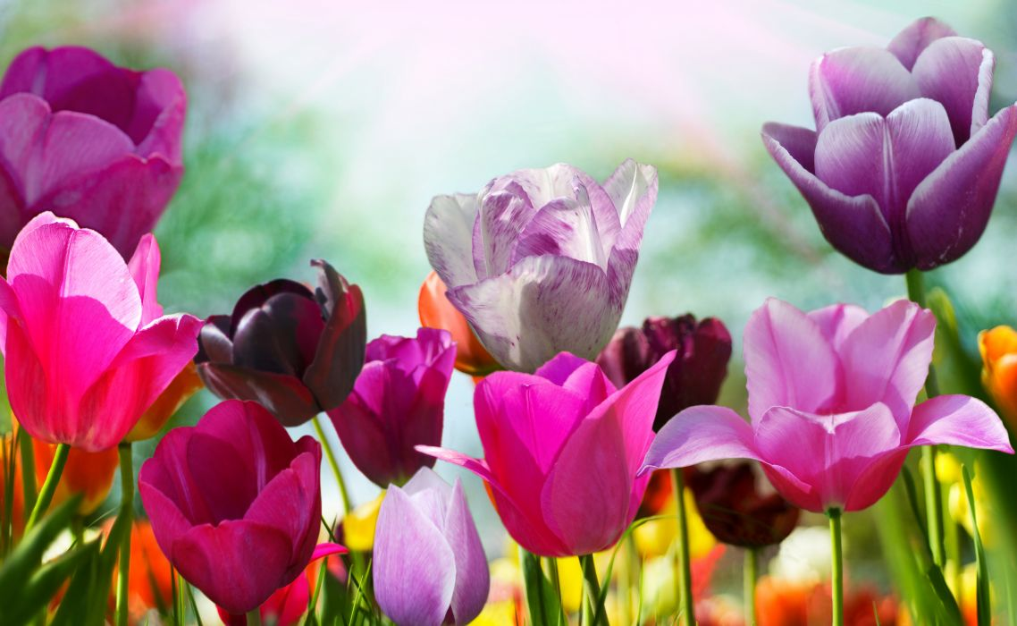 Tulips Flowers wallpaper