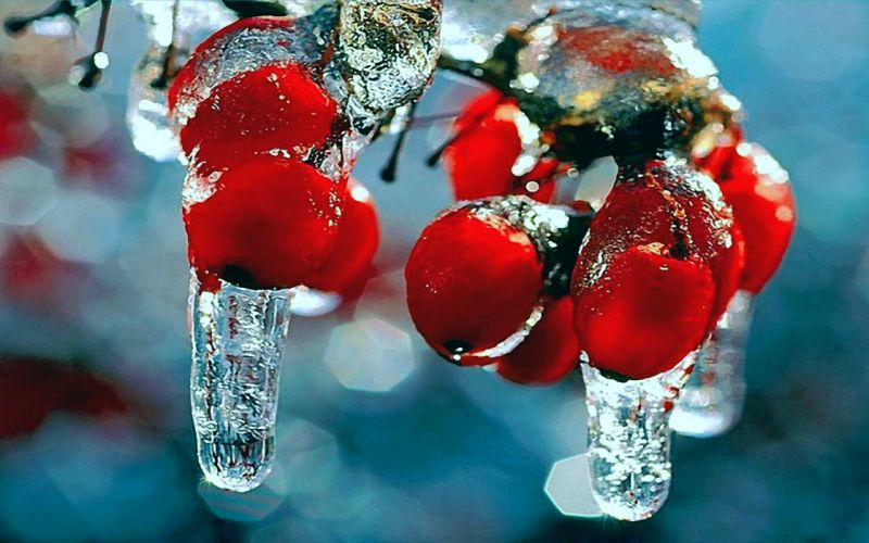 winter nature first snow frost red berries fruits rosehips icicles wallpaper