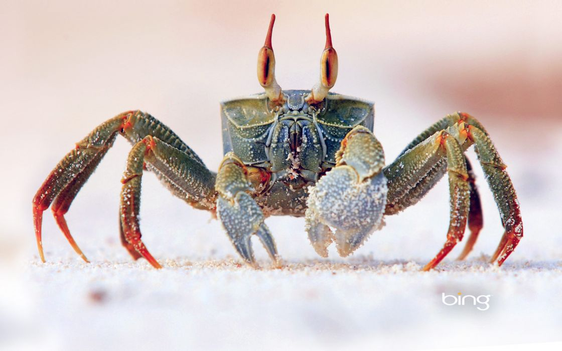 nature animal crab bing microsoft hd wallpapers wallpaper