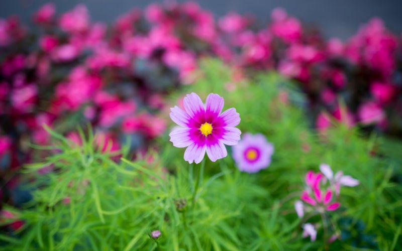 nature flower garden cosmos pink hd wallpaper wallpaper