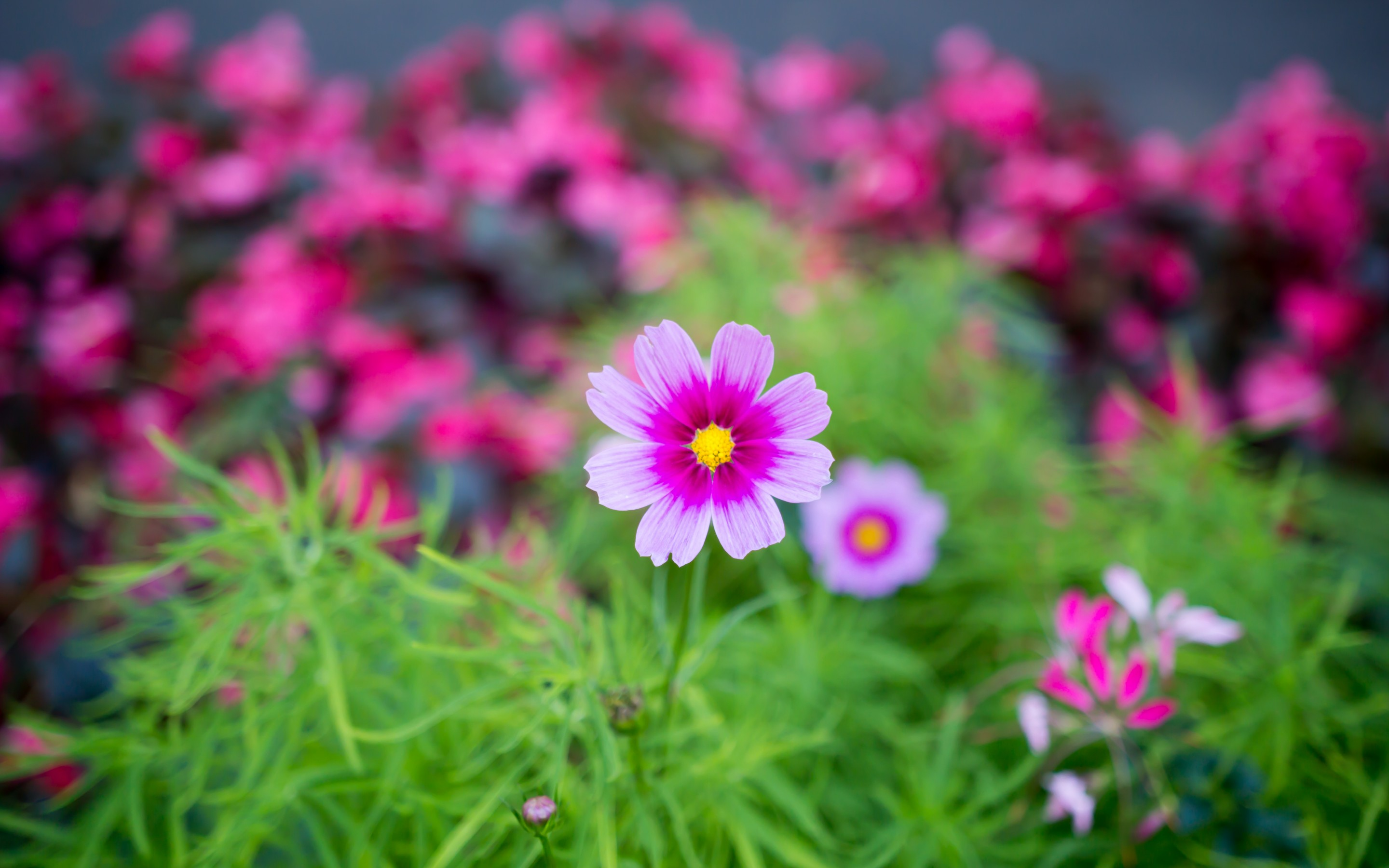 Nature Flower Garden Cosmos Pink Hd Wallpaper Wallpaper 2880x1800