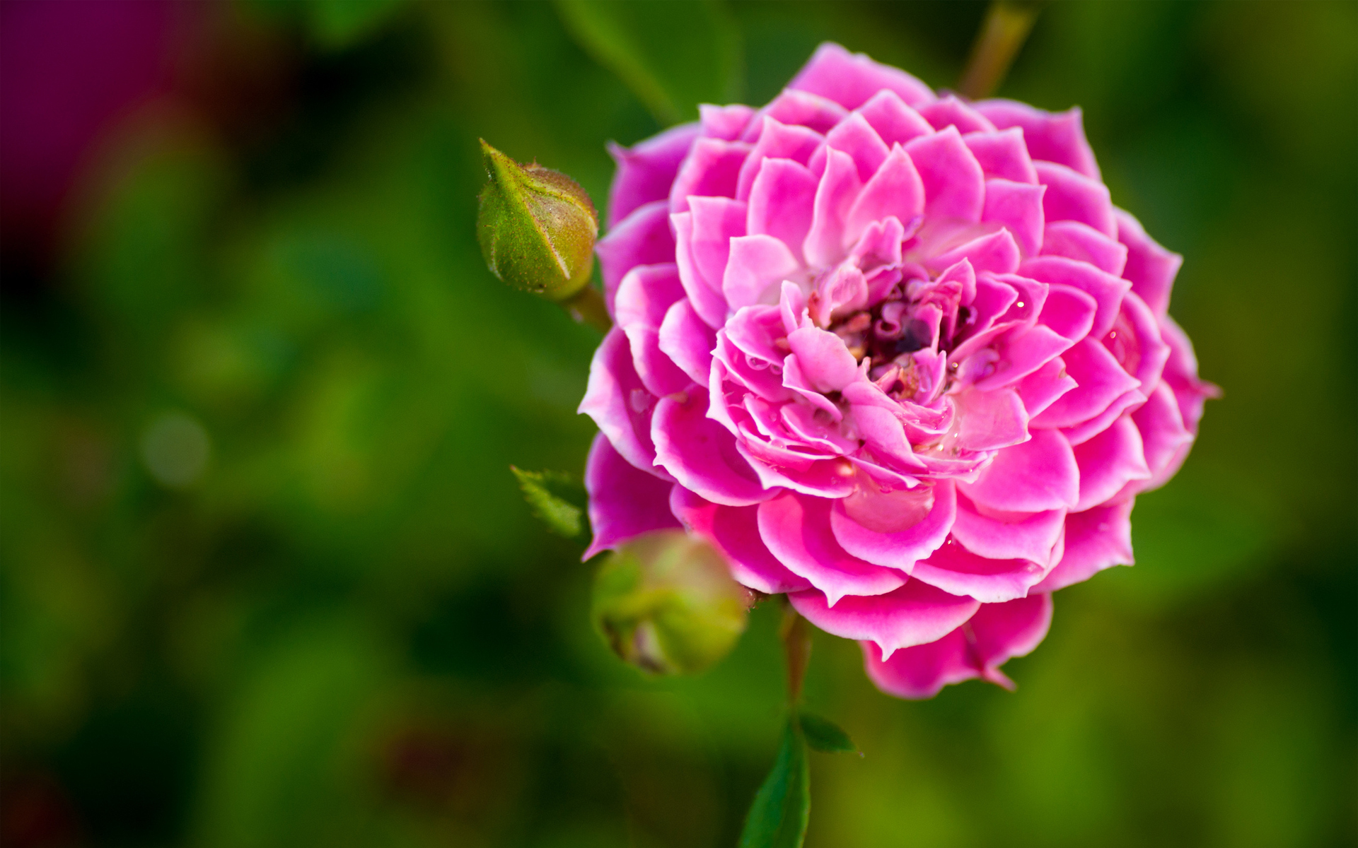 Nature flower garden rose pink hd wallpaper wallpaper ...