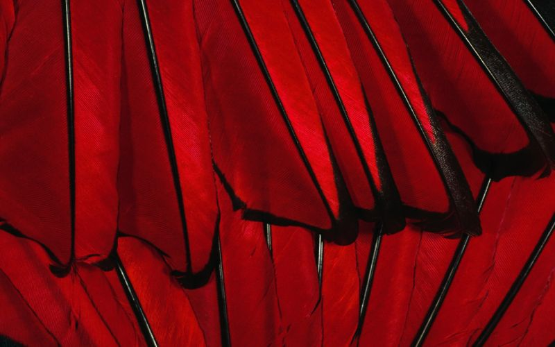 red feathers macro wallpaper