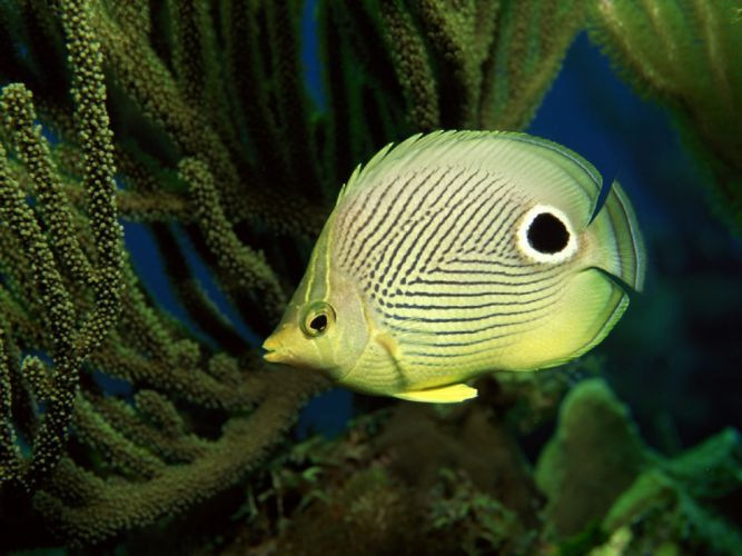 animals butterfly fish wallpaper