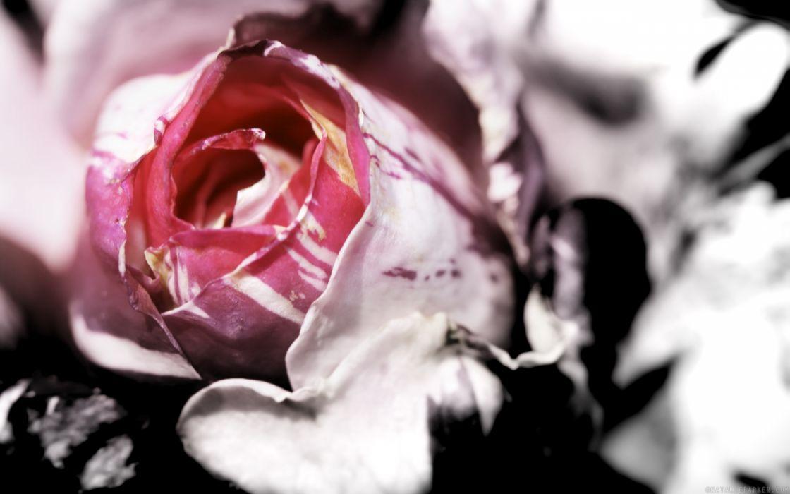 flowers macro roses pink flowers wallpaper