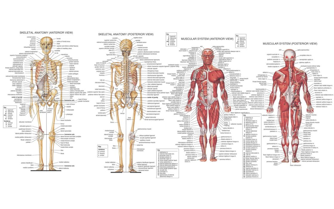 science medicine anatomy illustrations skeletons muscles encyclopedia wallpaper