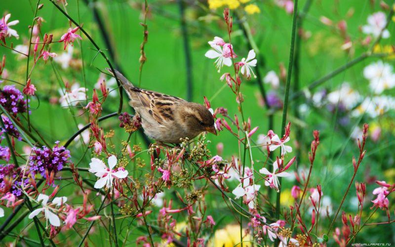 nature birds sparrow wildflowers wallpaper