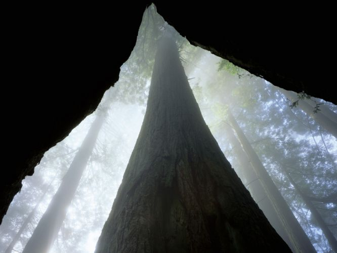fog California redwood trees wallpaper