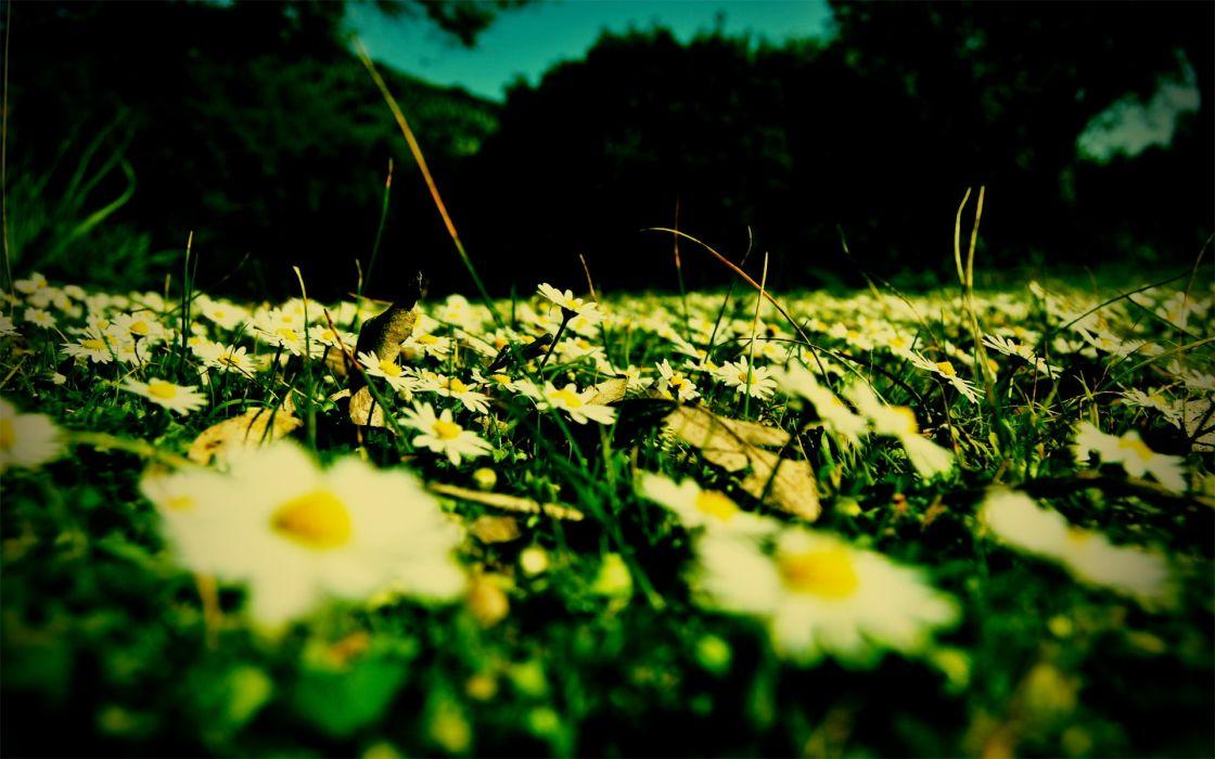 flowers fields daisy macro wallpaper