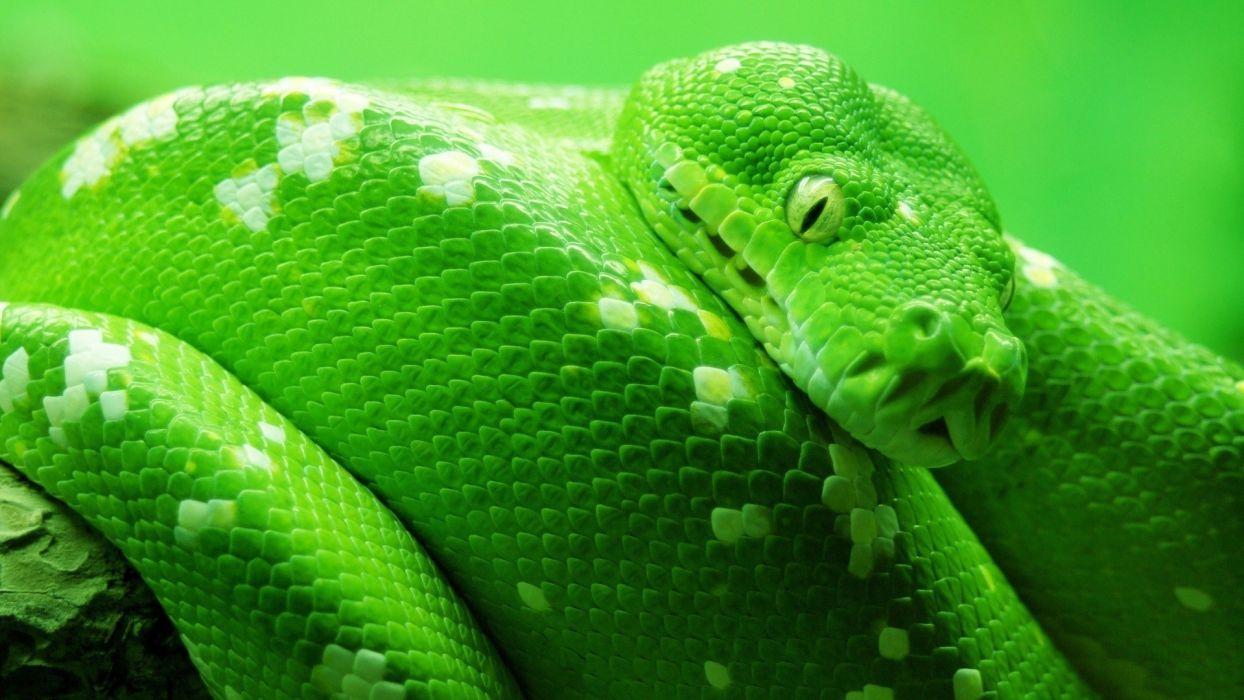 green animals snakes boa reptiles wallpaper