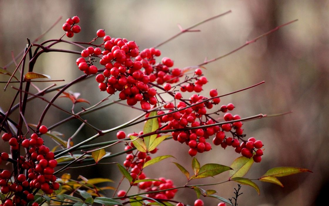 nature leaves bokeh berries wallpaper