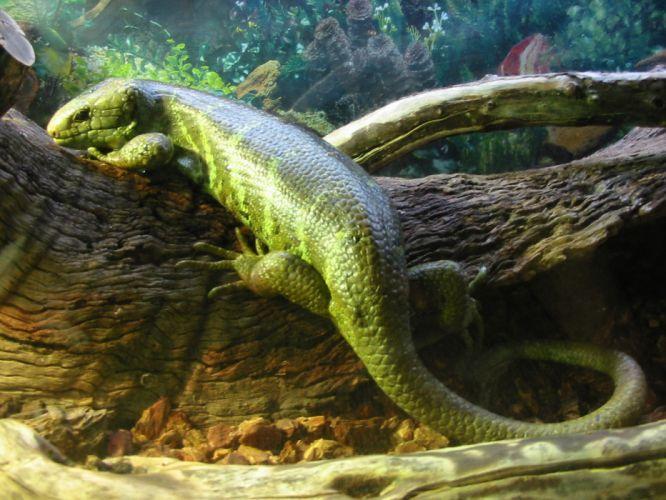 lizards wallpaper