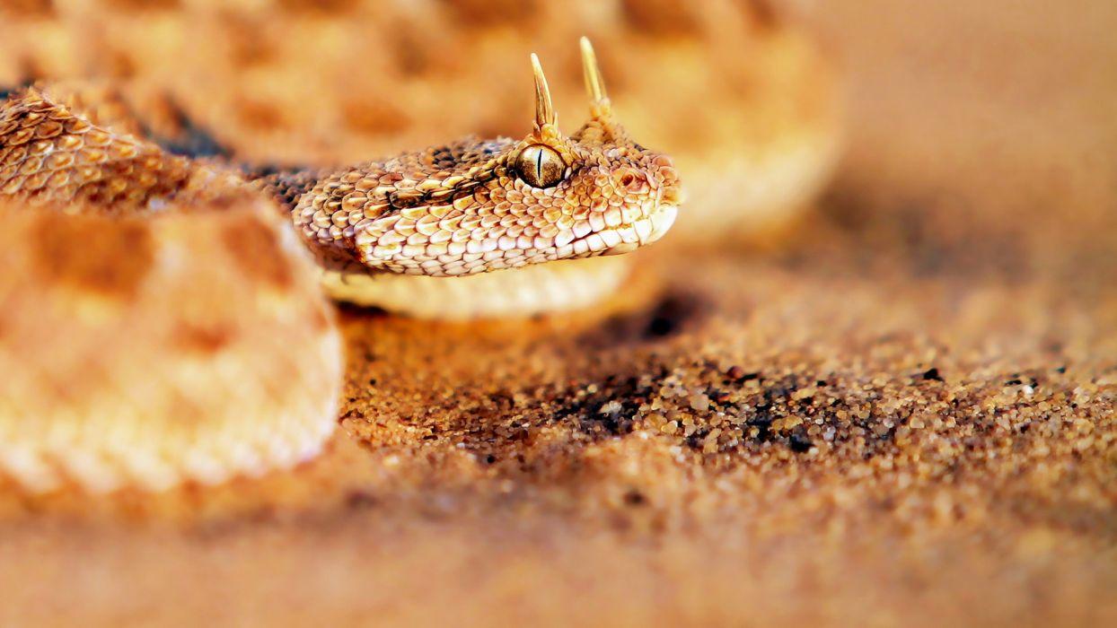 nature snakes viper reptiles wallpaper