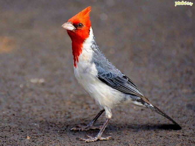 nature birds cardinal wallpaper