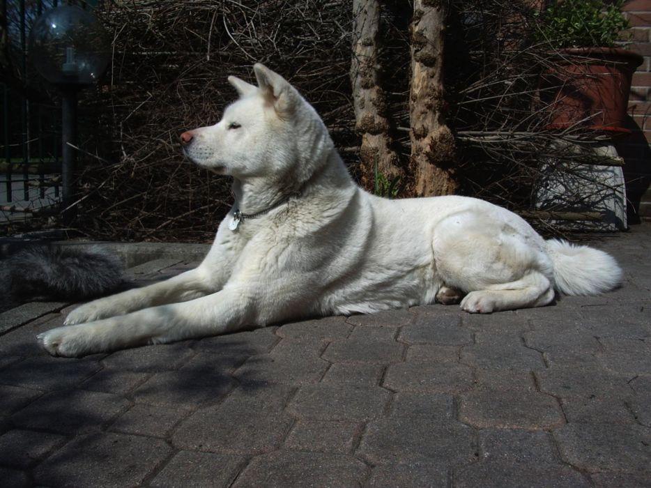 animals dogs Akita wallpaper