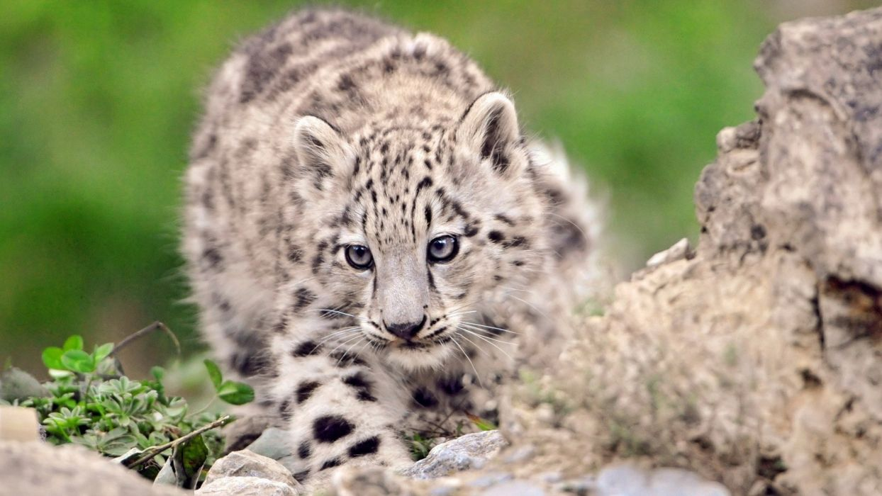 nature animals snow leopards baby animals wallpaper
