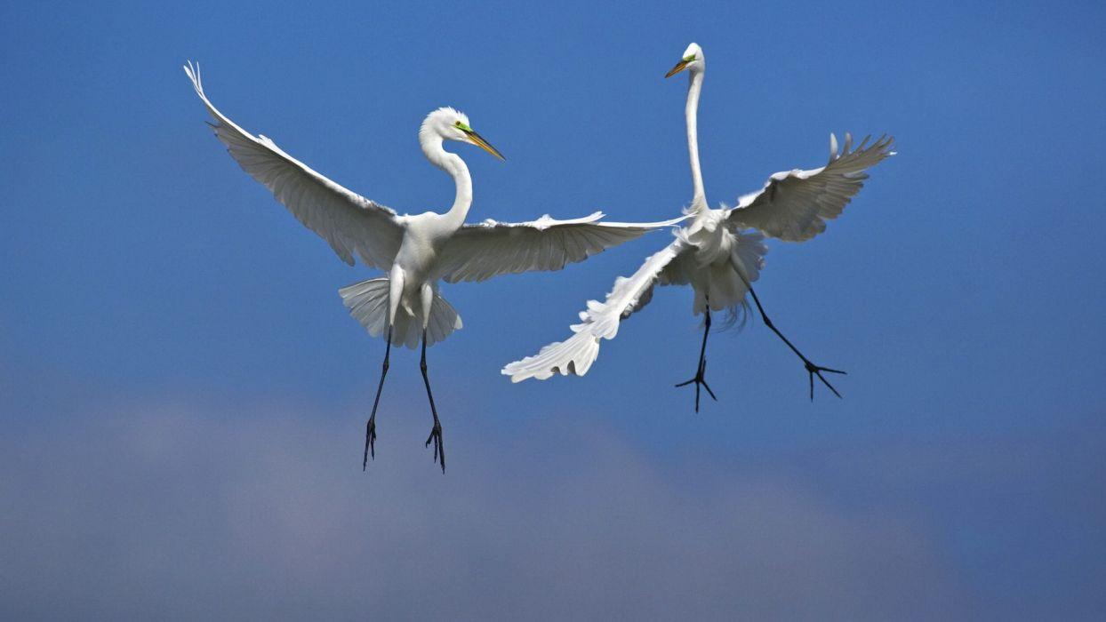birds fighting Florida Venice male flight egrets wallpaper
