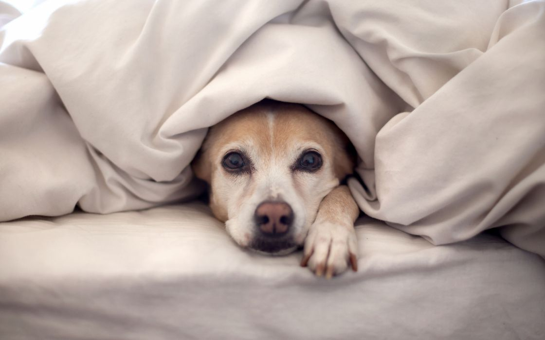 animals beds dogs pets wallpaper