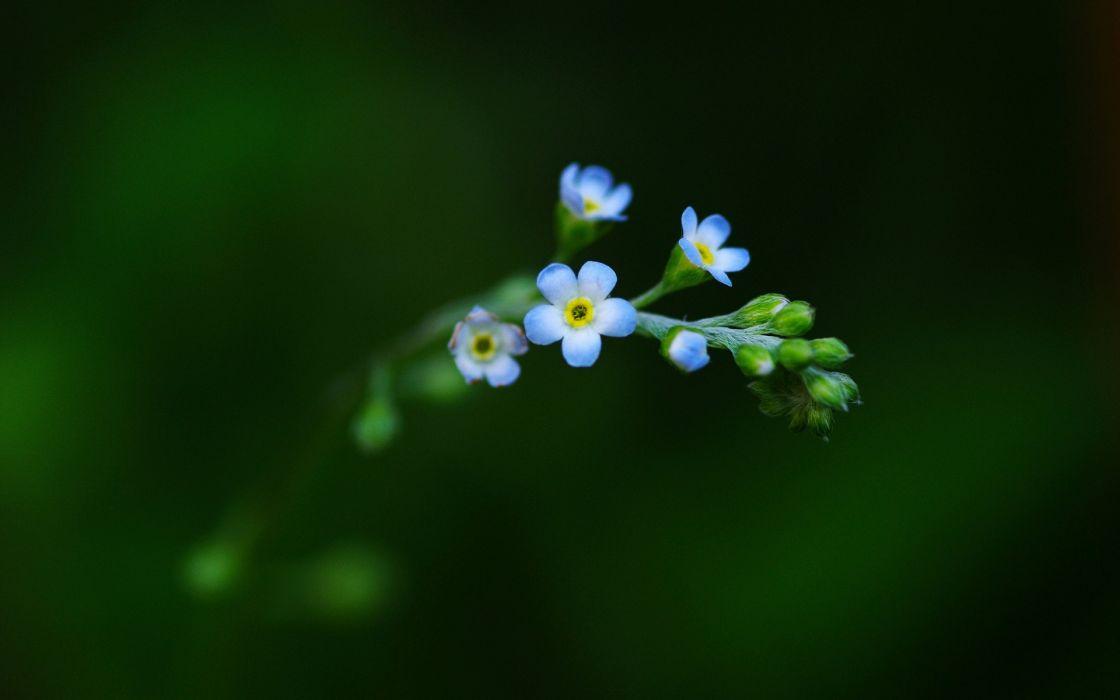 flowers plants Forget-me-nots wallpaper
