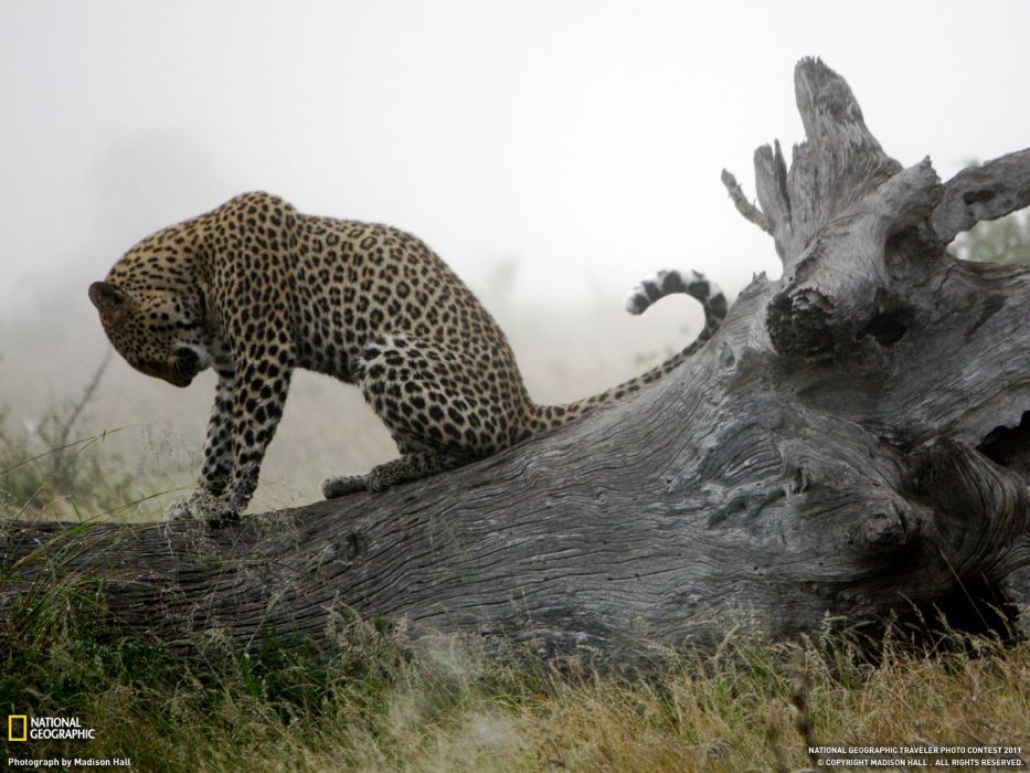 animals National Geographic leopards wallpaper