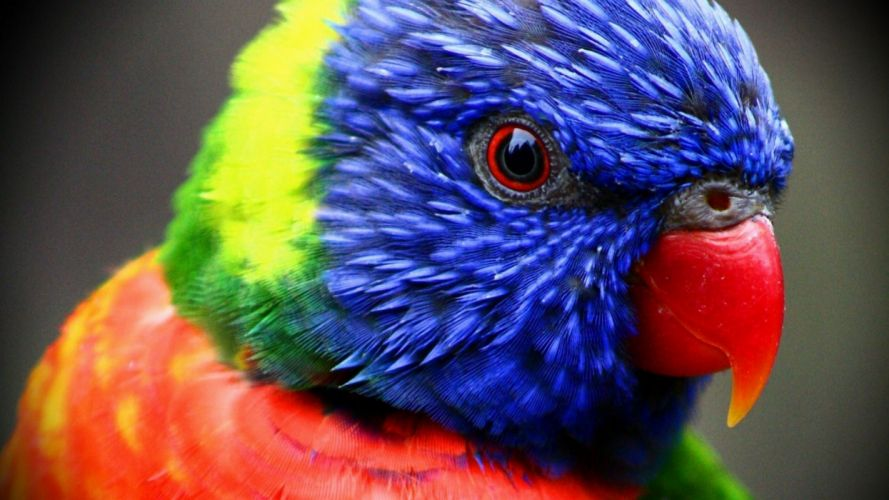 birds parrots rainbow lorikeets wallpaper