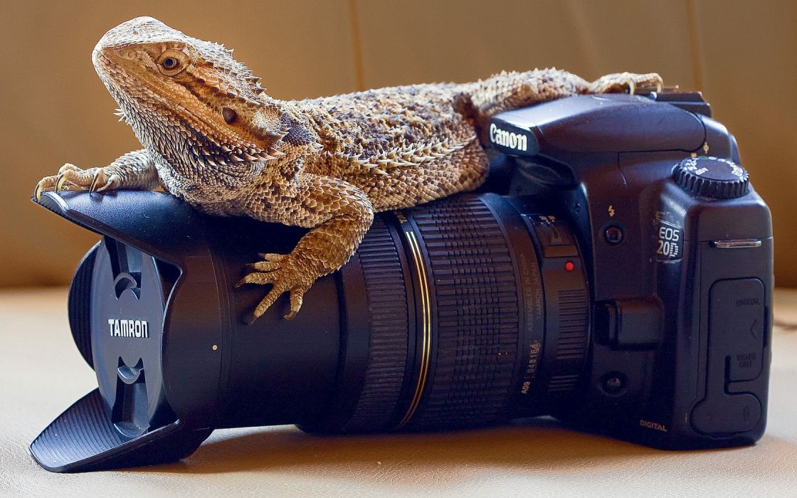 animals cameras Bearded dragon wallpaper