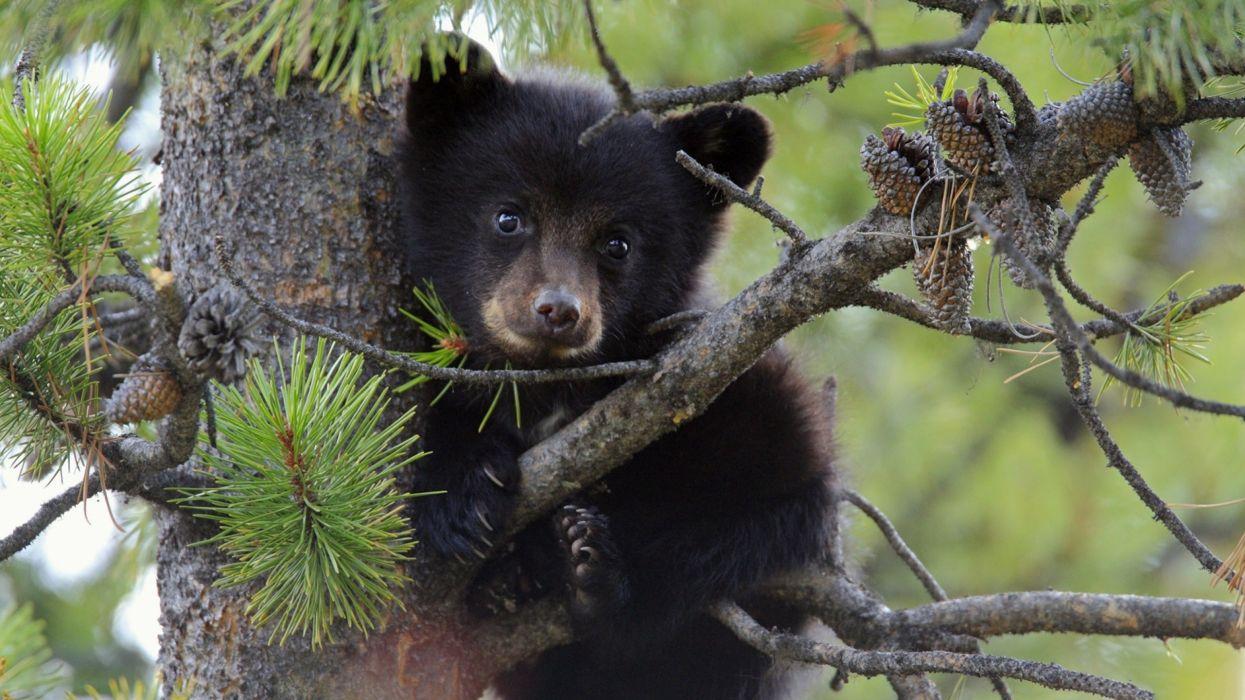 nature trees animals plants bears Flora evergreens pine trees wallpaper