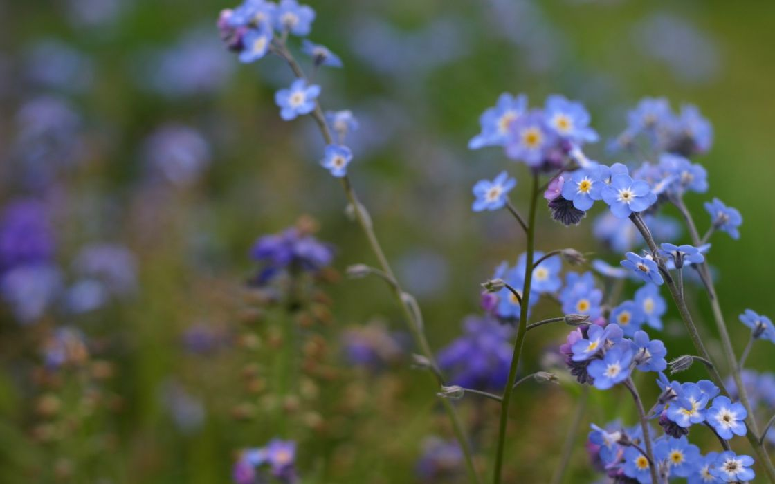 nature flowers Forget-me-nots wallpaper