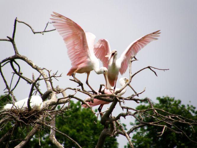 nest branches herons wallpaper