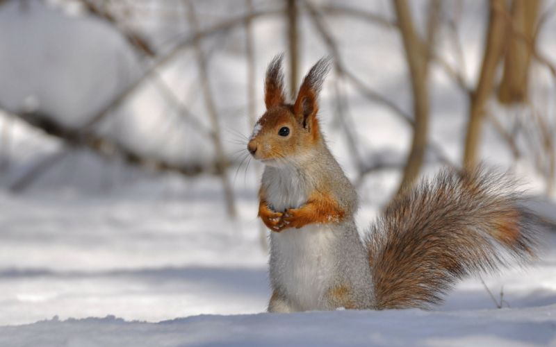 snow animals squirrels blurred background wallpaper