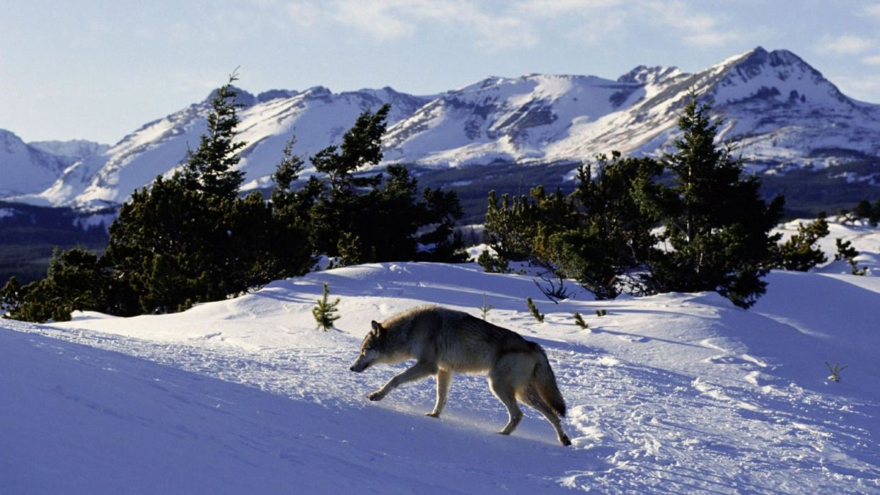 winter wolves wallpaper
