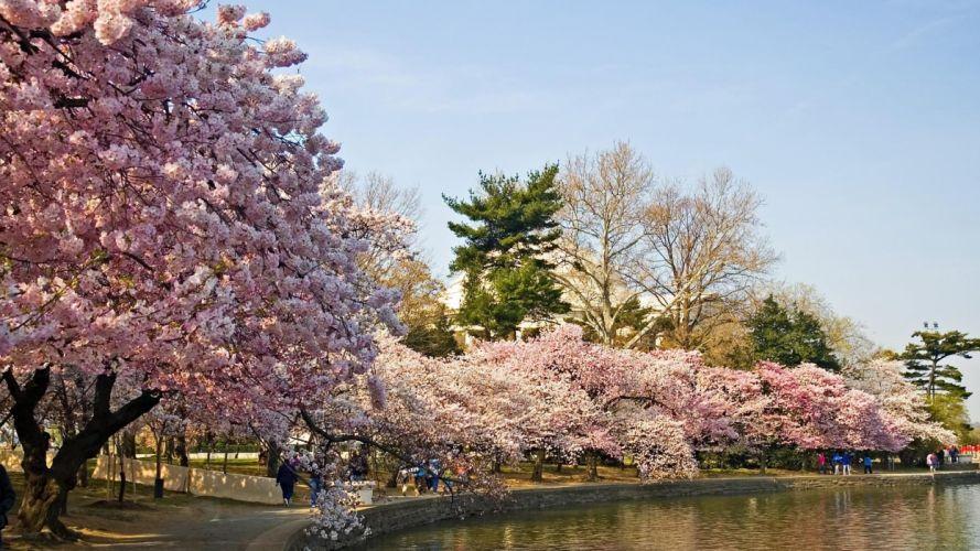 landscapes cherry blossoms wallpaper