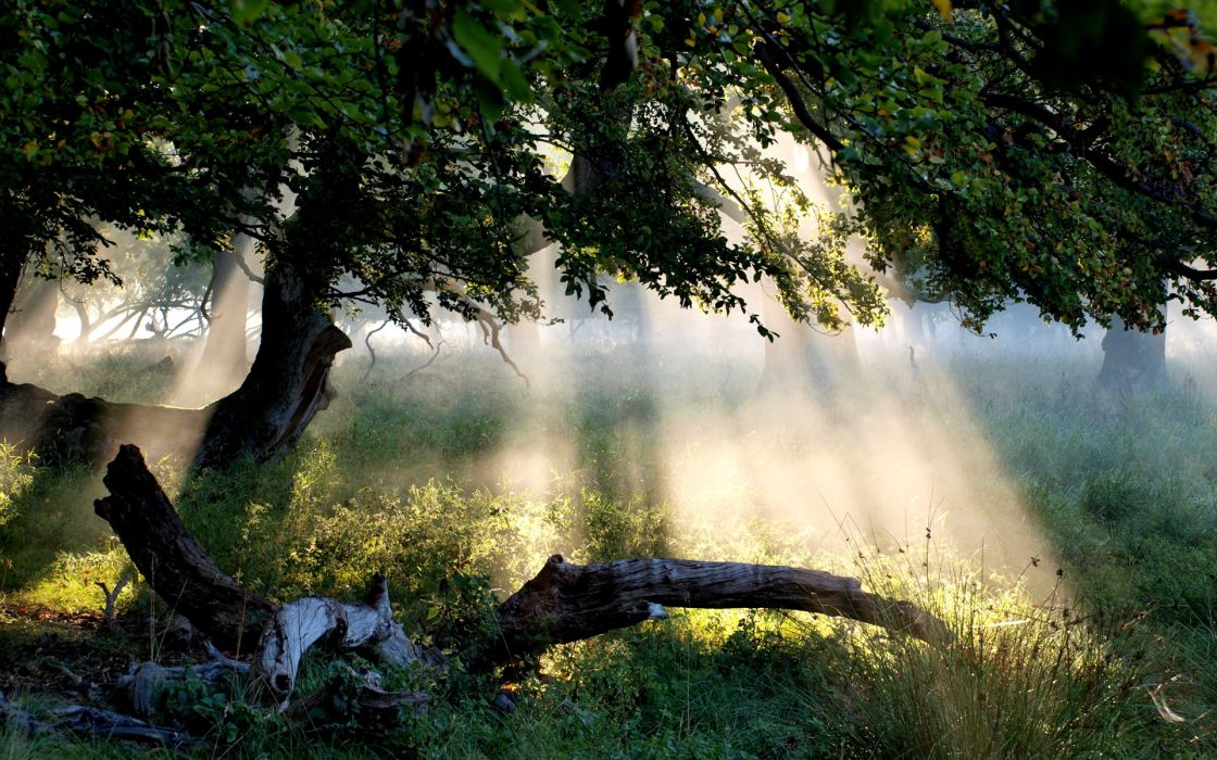 Sunbeam through Tree forest nature grass hd wallpaper wallpaper