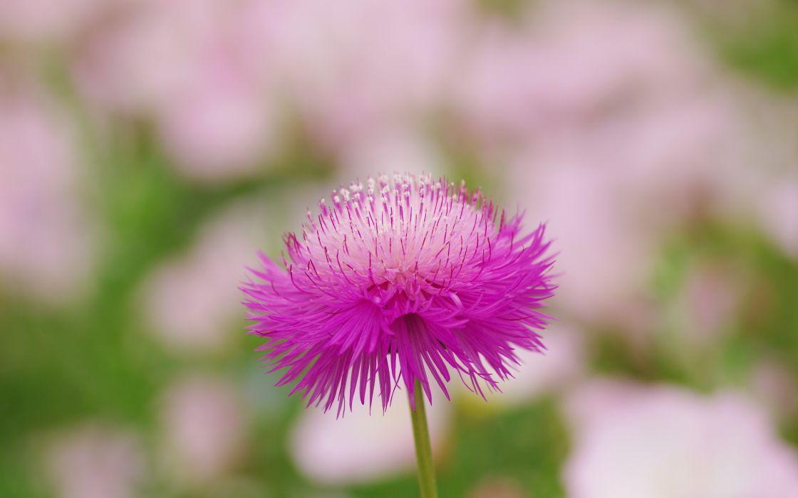 nature flower garden wild pink hd wallpaper wallpaper