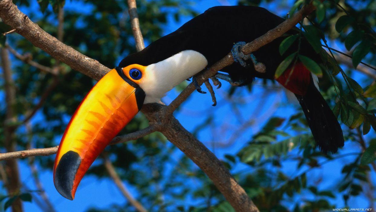 birds toucans wallpaper