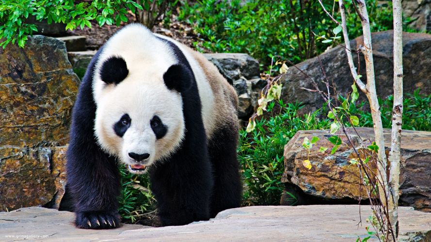 animals panda bears wallpaper