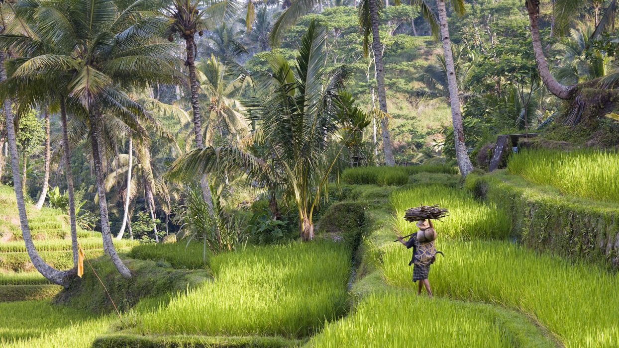 nature trees rice Indonesia bali wallpaper