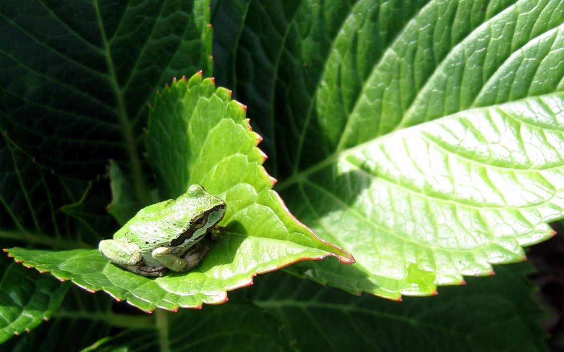 nature leaves frogs amphibians wallpaper