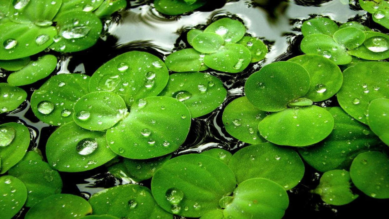 Water Leaves Drops Lily Pads Wallpaper
