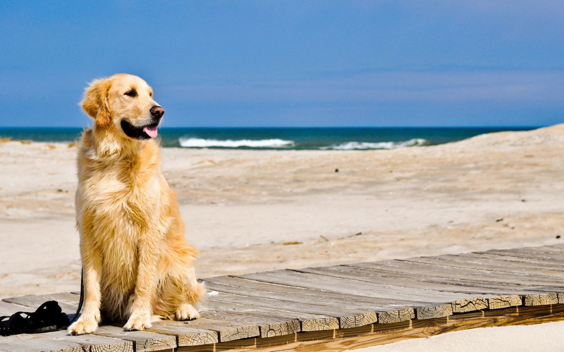nature animals dogs George Petty golden retriever beaches wallpaper