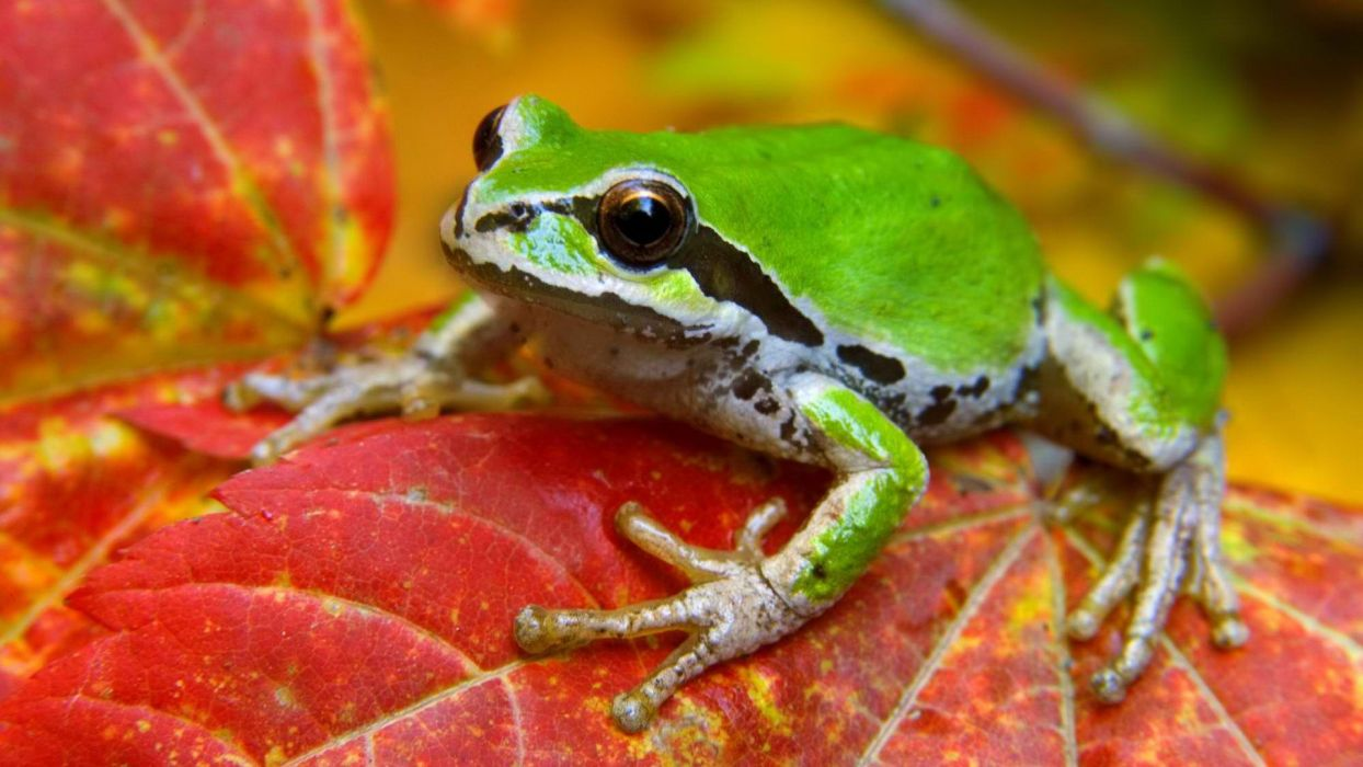 maple leaf National Park Washington wallpaper