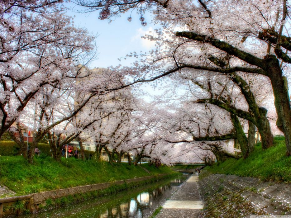 nature cherry blossoms wallpaper