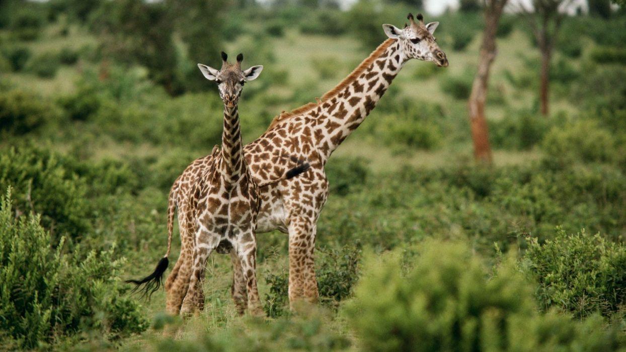 animals giraffes baby animals wallpaper
