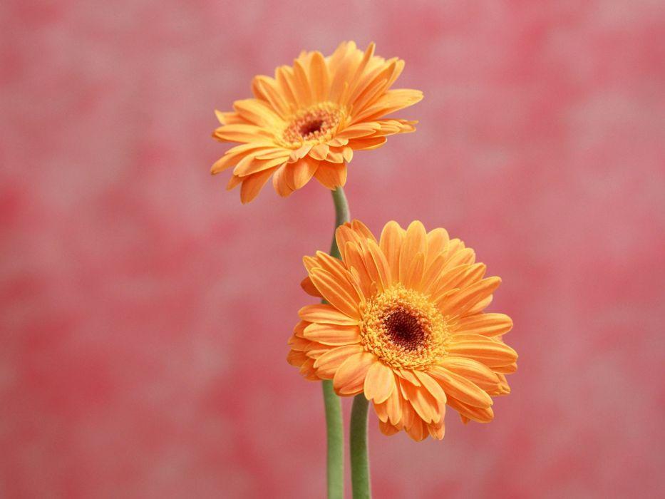 flowers daisy wallpaper