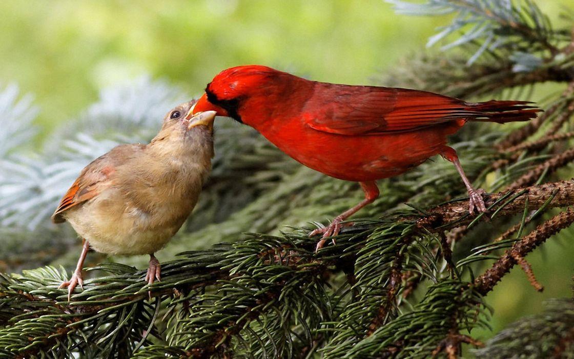 birds wildlife cardinal wallpaper
