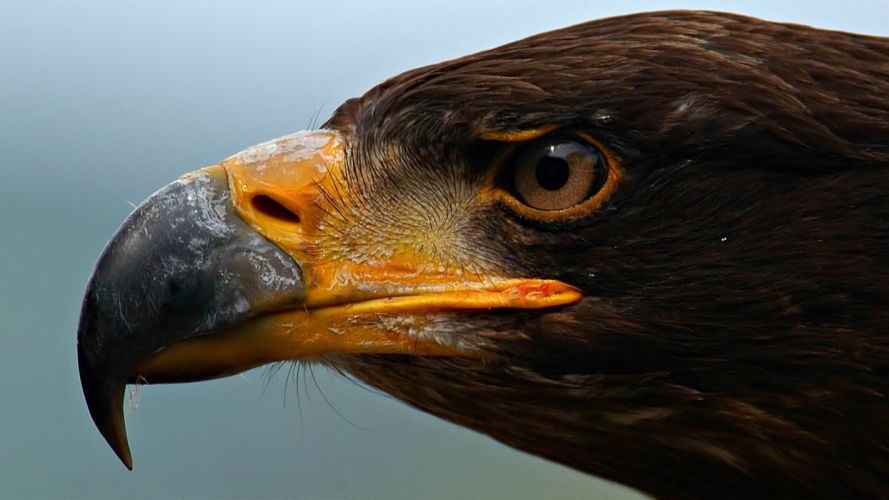 wildlife eagles macro wallpaper