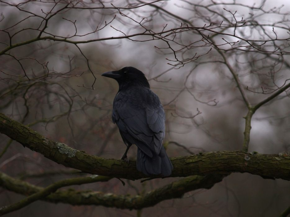 depth of field crows branches wallpaper